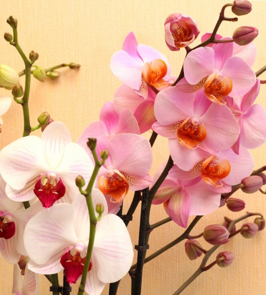 white and pink orchid flowers