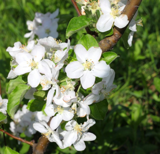 white blossom in May 2013