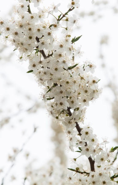 white blossom photographed in April 2014, photo 1/3