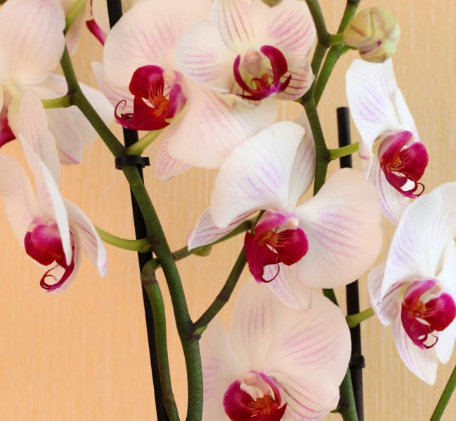 a beautiful creation of God: white orchids, photo 1