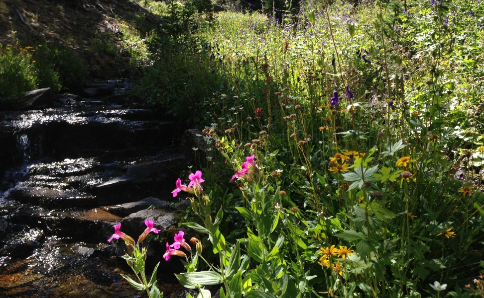 Wild flowers alongside the upper Jarbidge River in the upper Jarbidge River Canyon on August 9th 2013