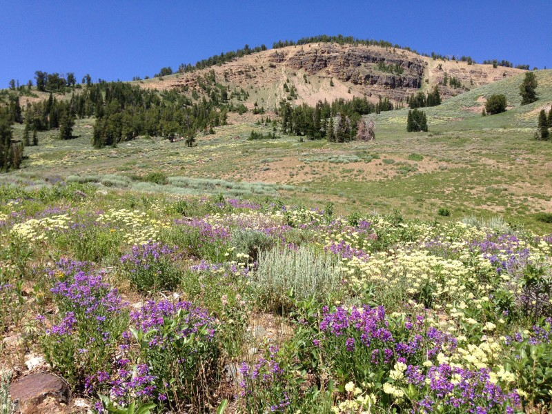Wildflowers west of Coon Creek Summit in the Humboldt-Toiyabe National Forest on July 12th 2013