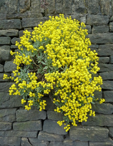 Yellow flowers in the wall