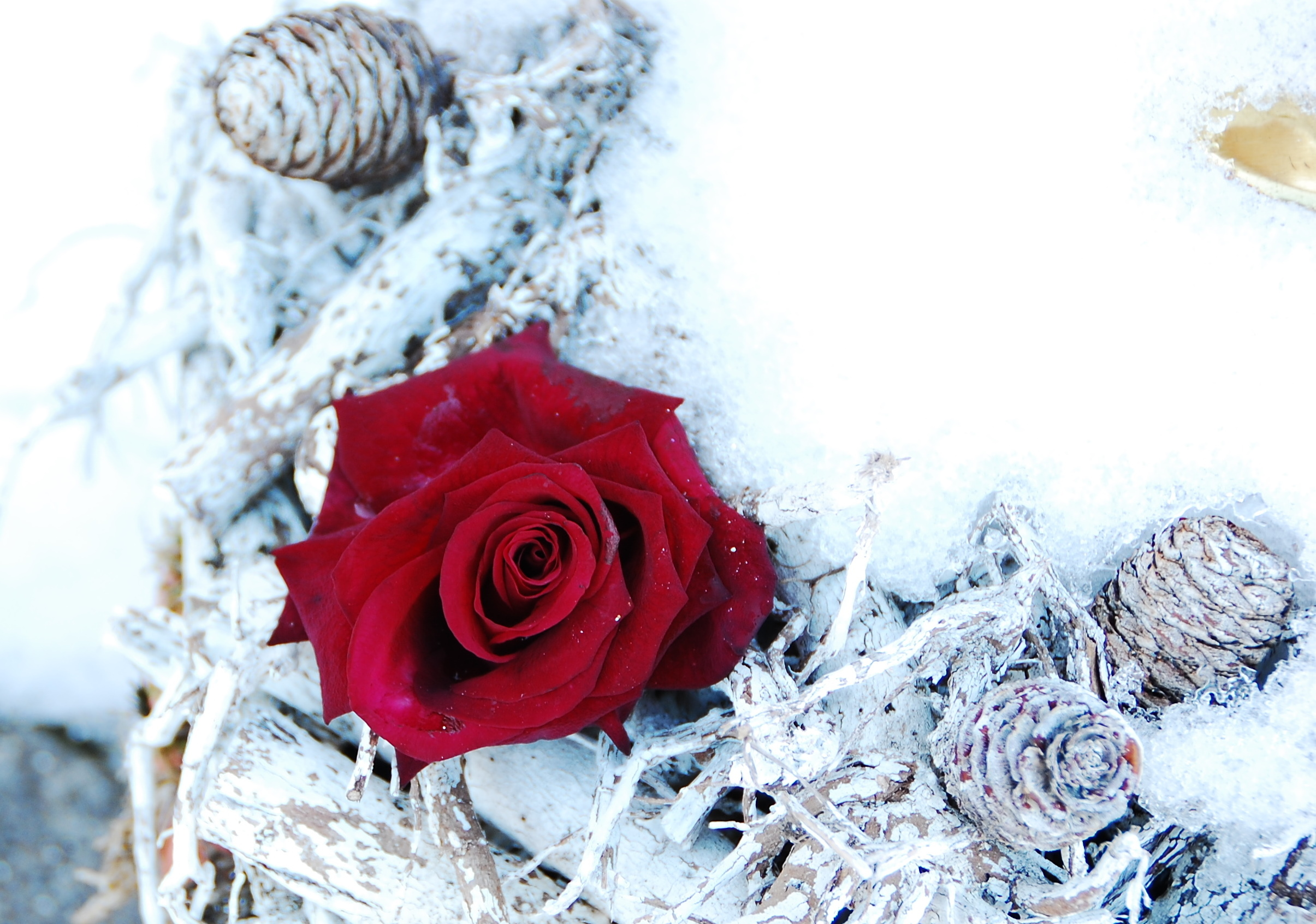 Red rose in snow AB2013