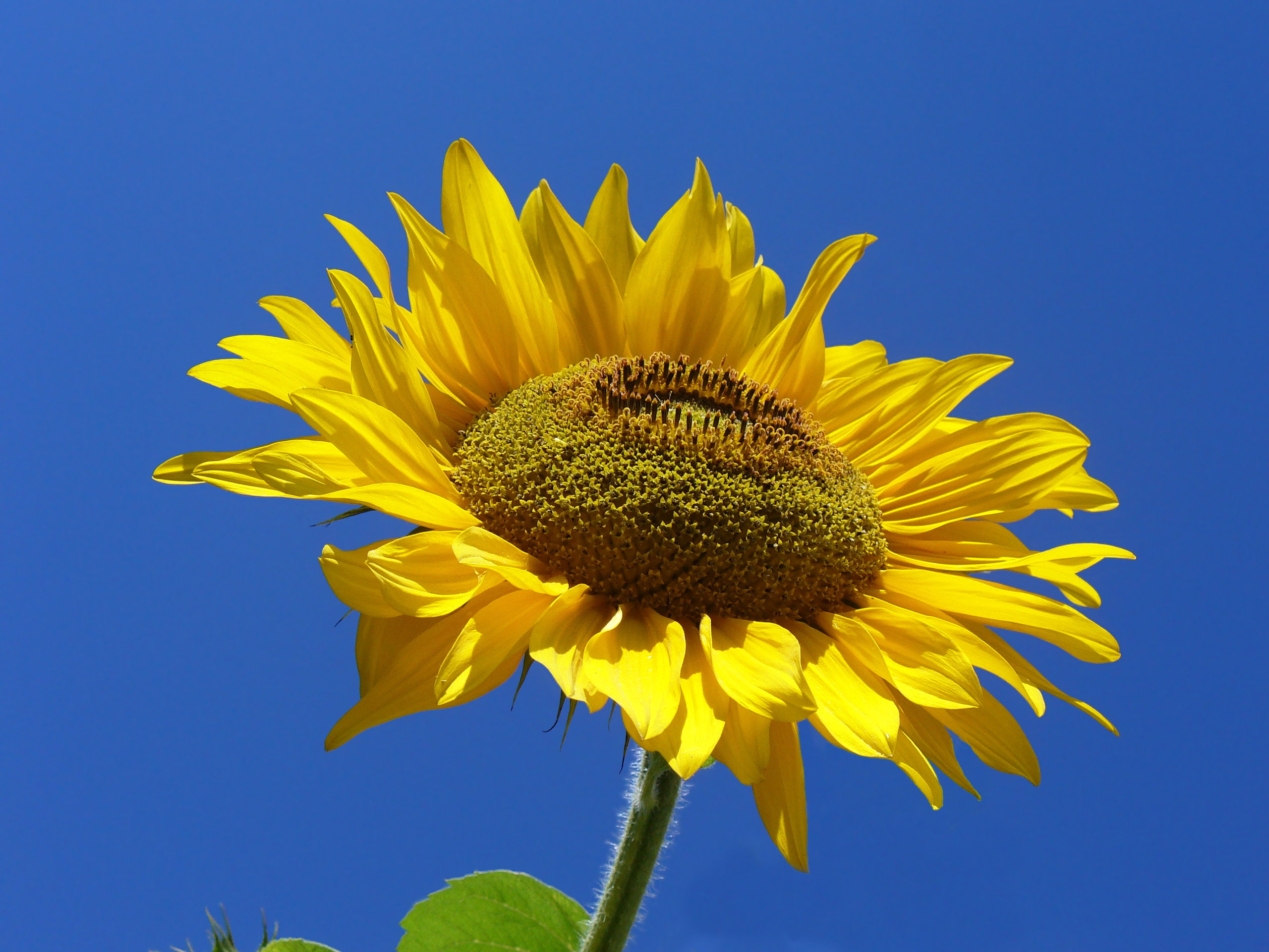 Sunflower from Silesia Edit 2
