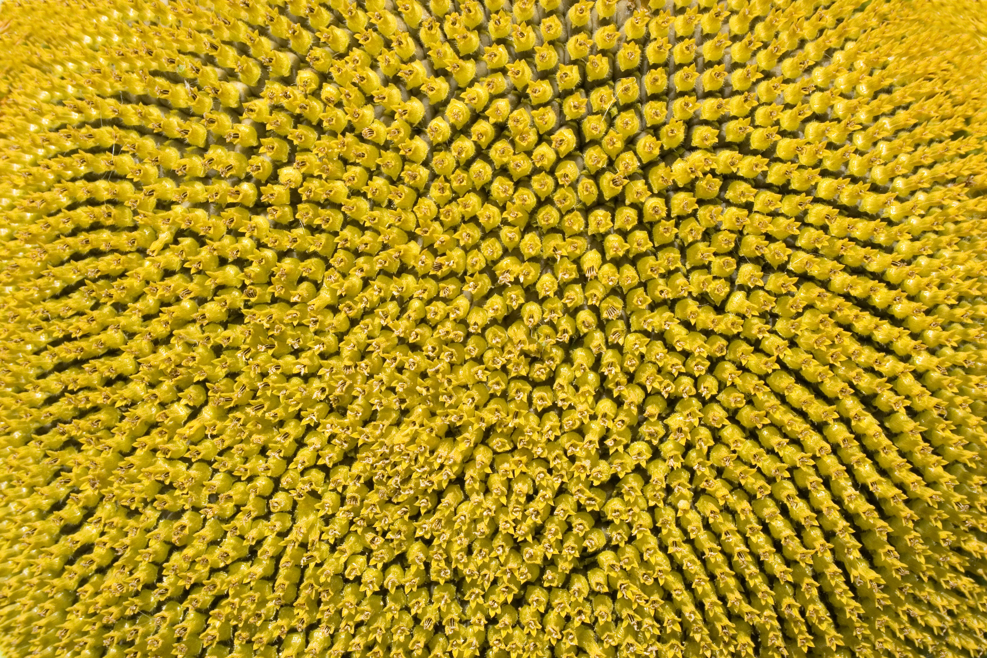 Sunflower head (Helianthus annuus) Hungary Felsotold