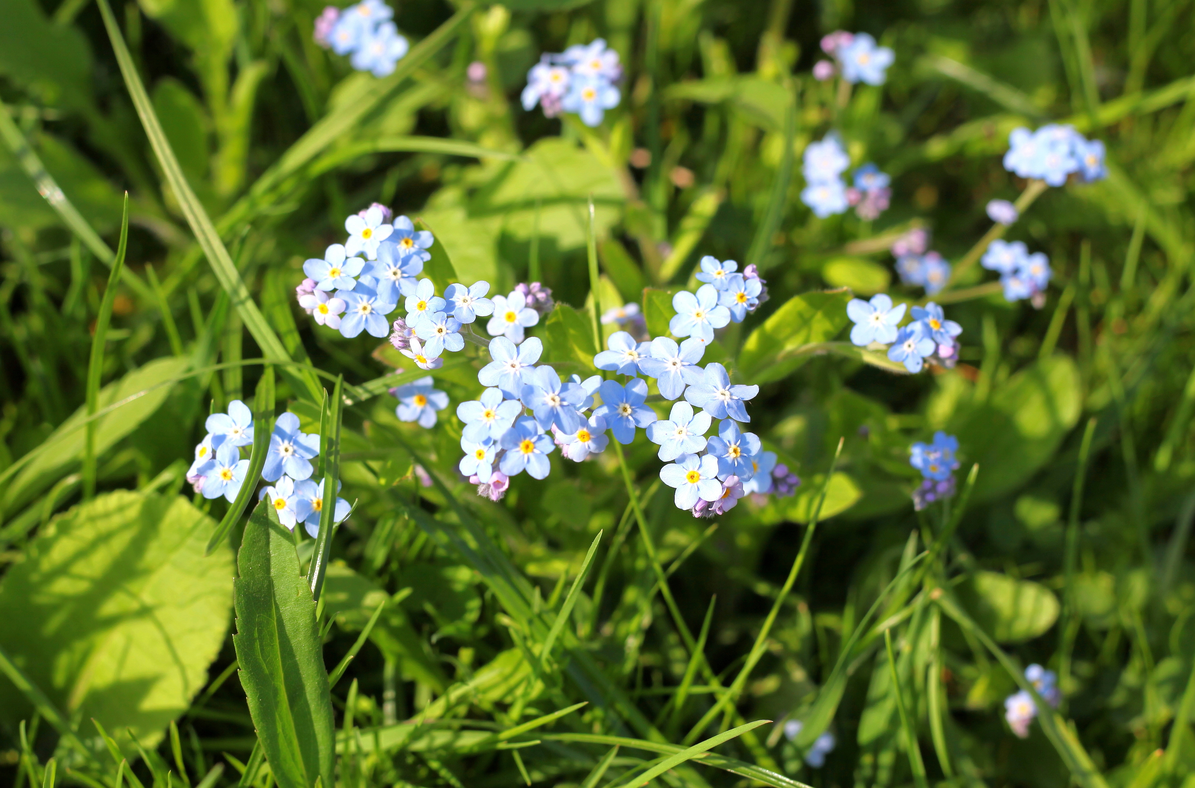 tiny light-blue flowers in May 2013
