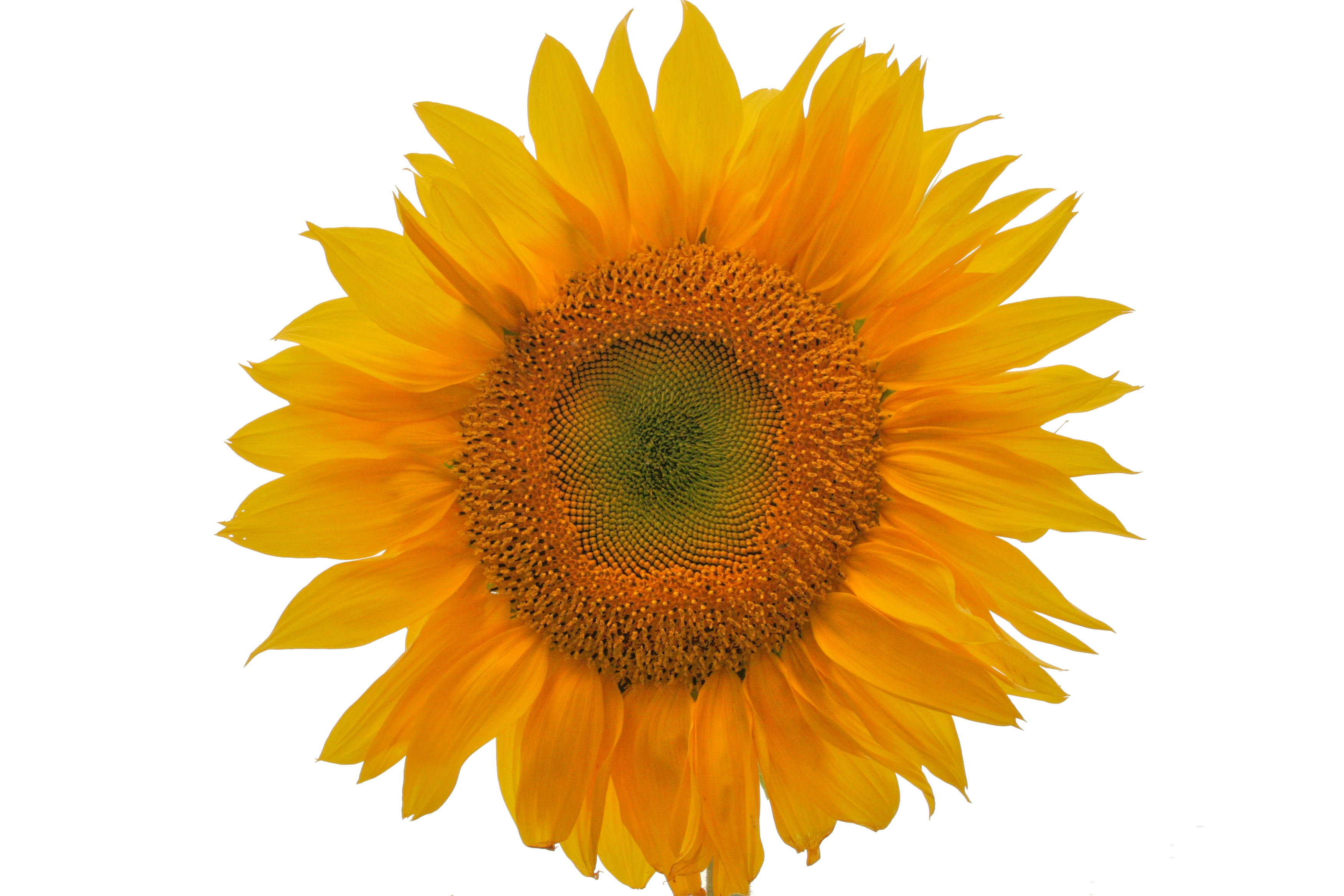 VallejoSunflower