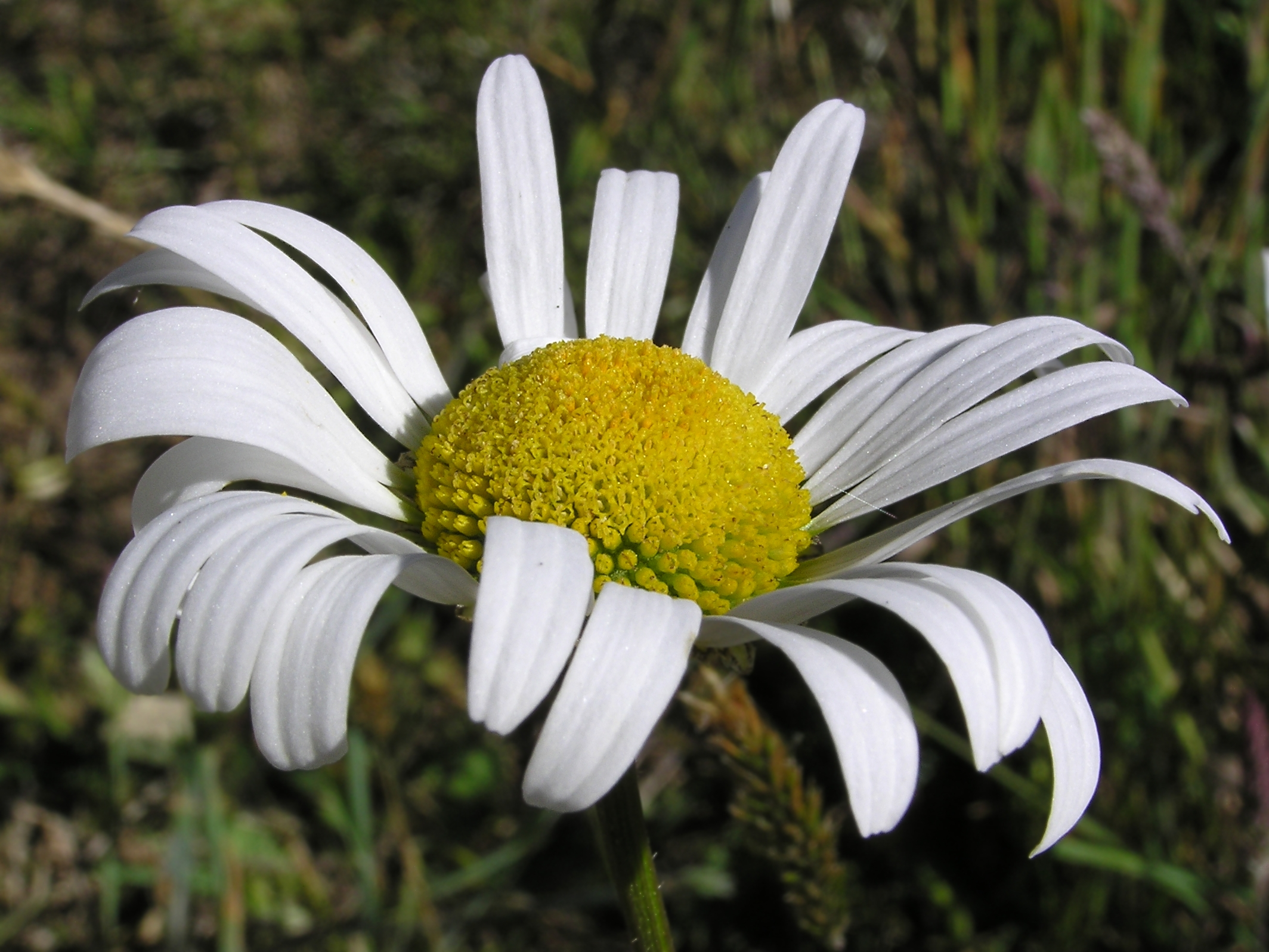 White and yellow daisy 01