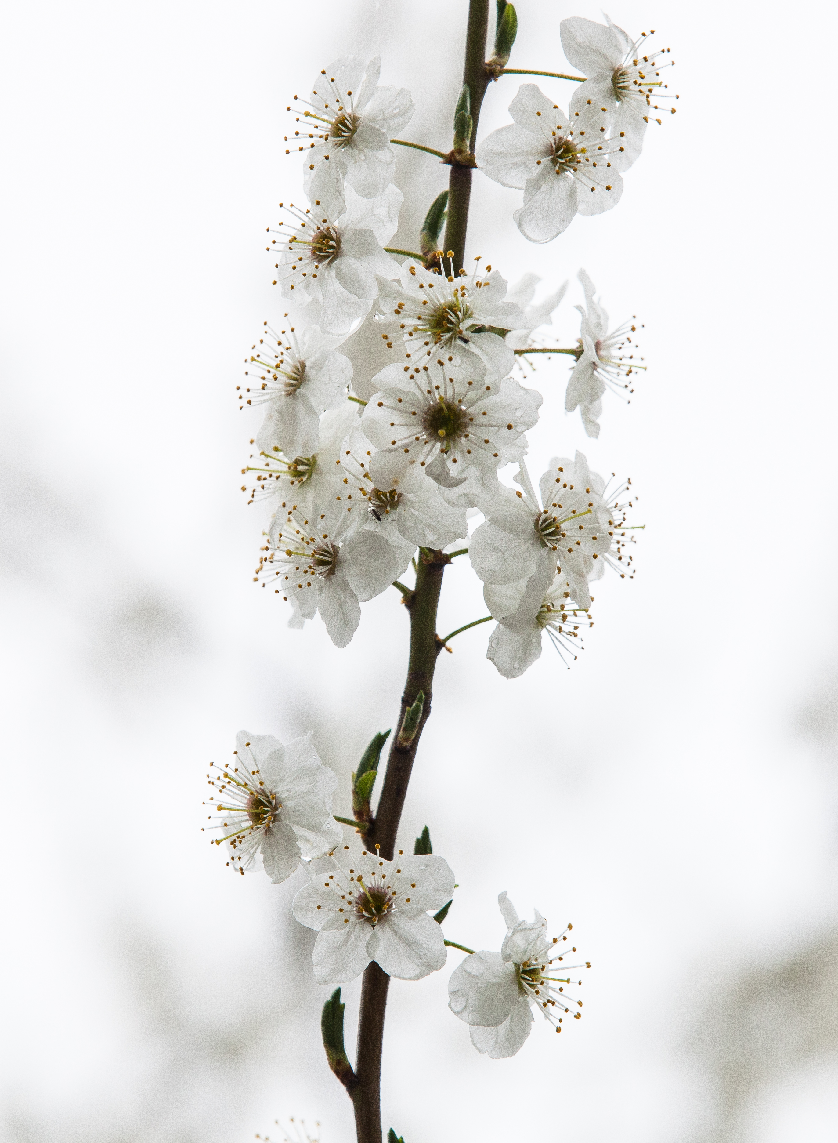 white blossom photographed in April 2014, photo 2/3