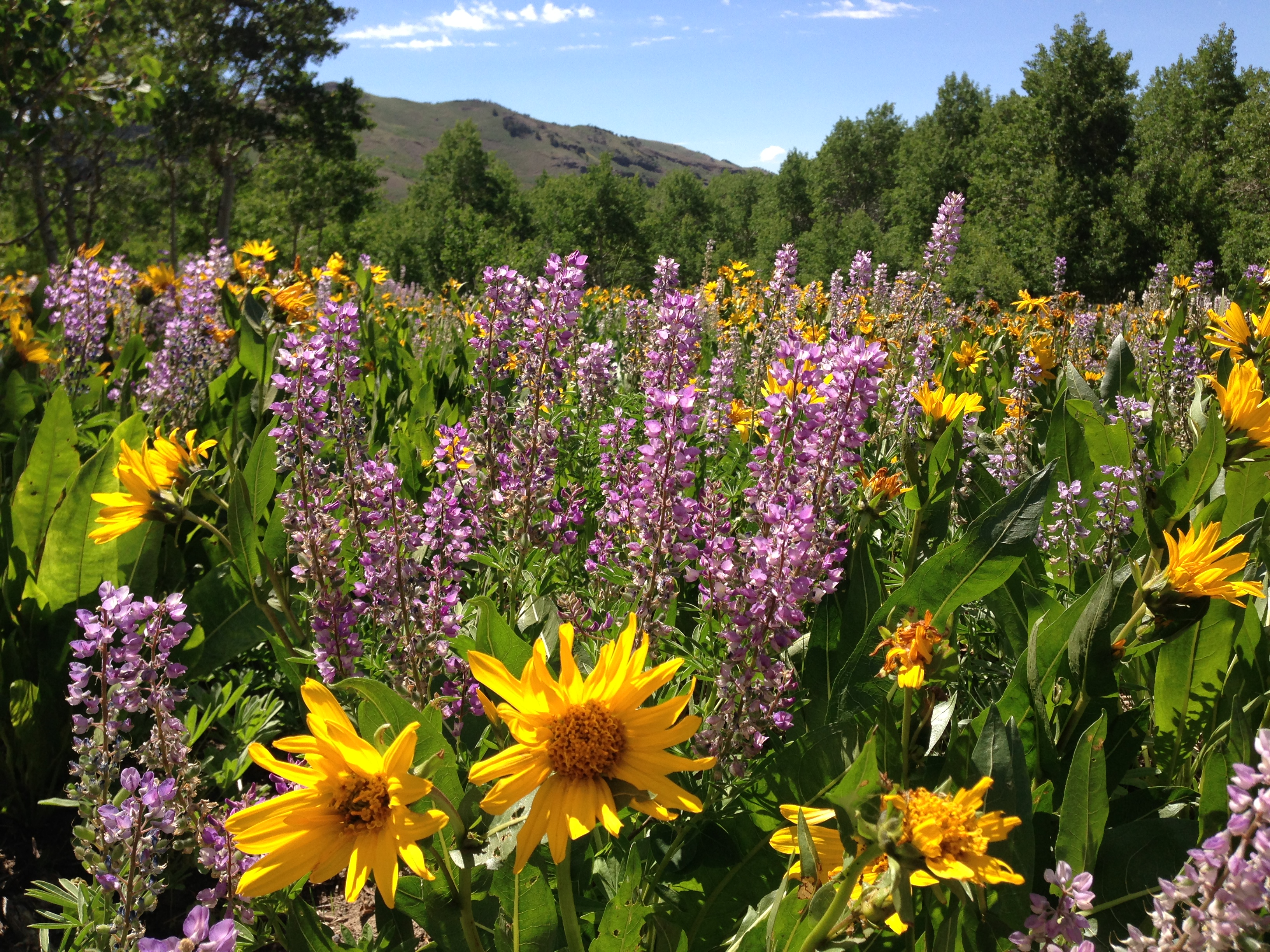 Wildflowers near Camp Draw in Copper Basin of the Humboldt-Toiyabe National Forest on June 28 2013