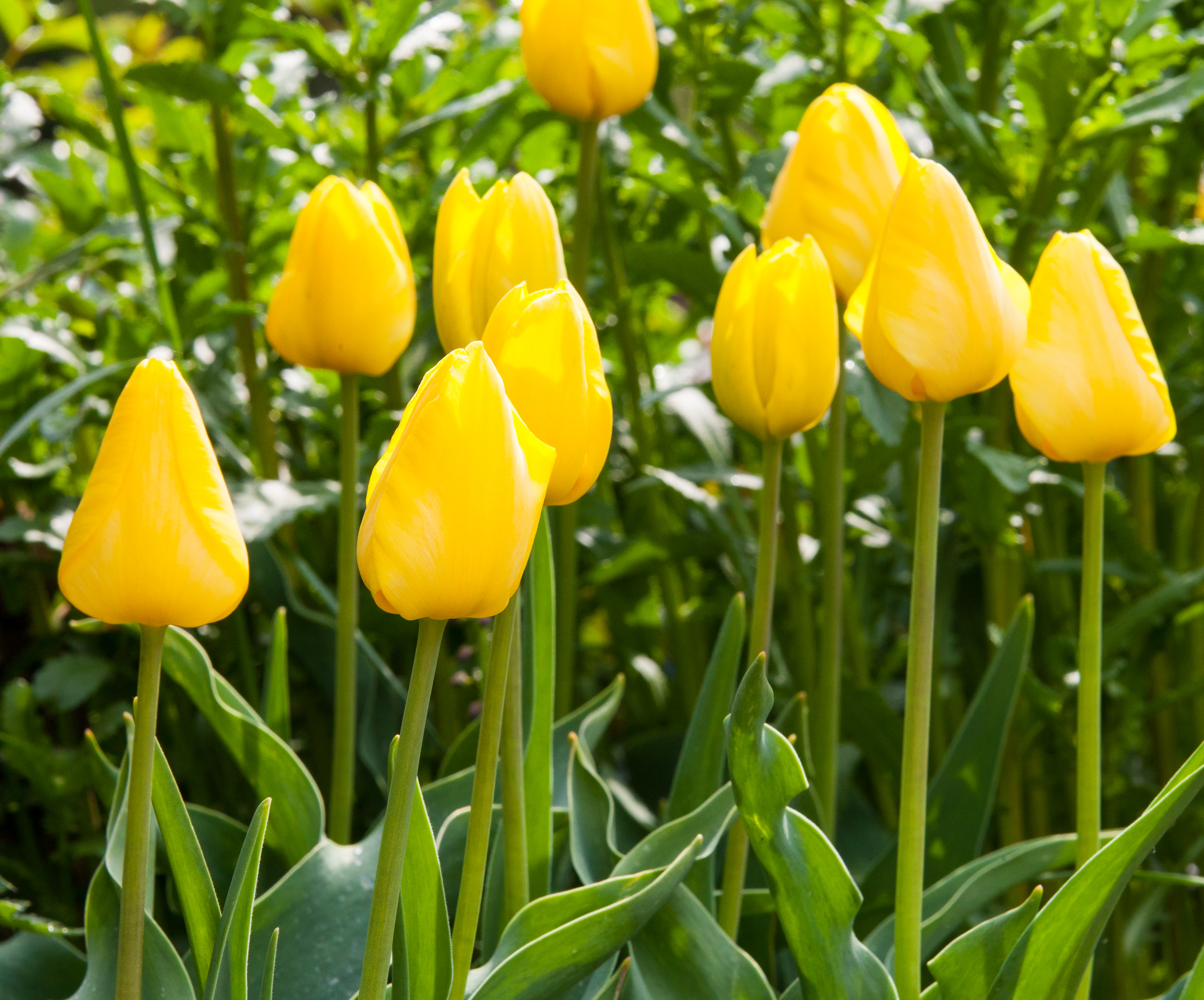 yellow tulips photographed in May 2014
