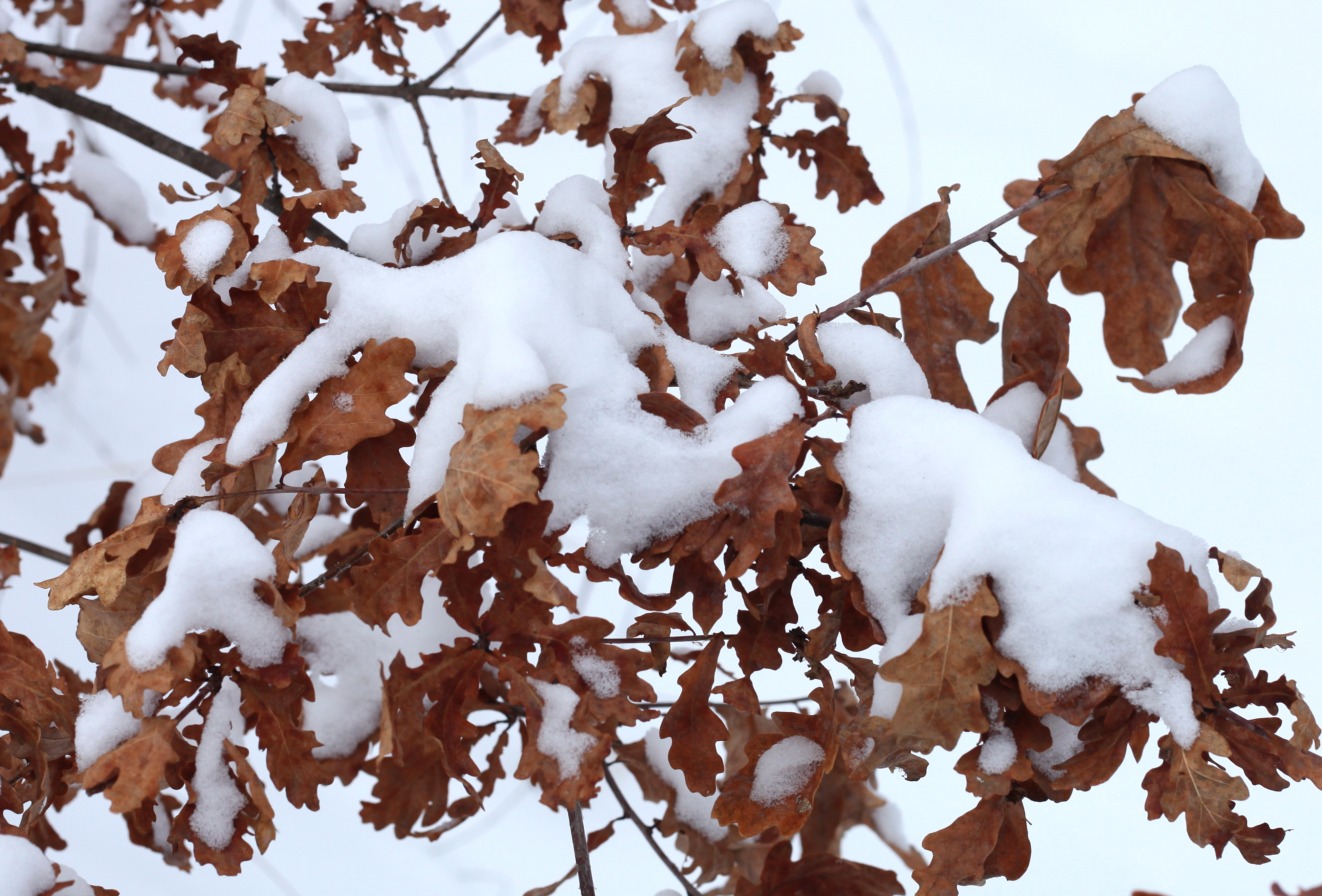 an oak tree dry leaves covered with snow
