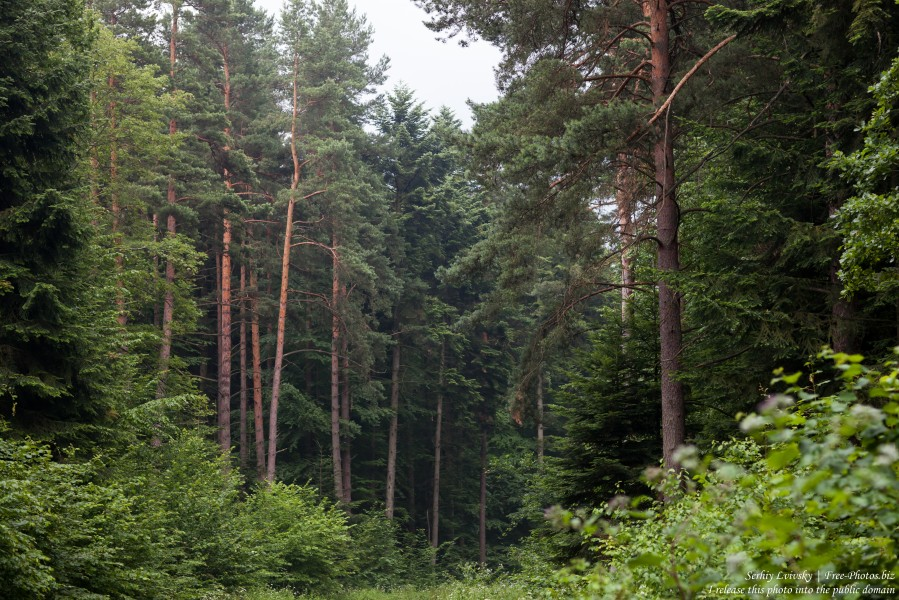 a forest in the south-east of Poland in July 2017, picture 2