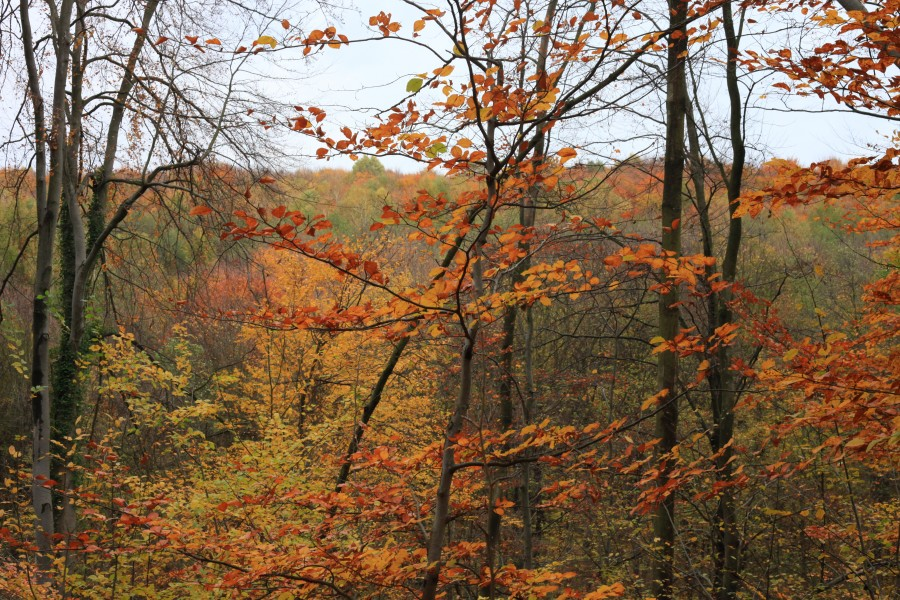 forest in October, trees in gold, photo 2