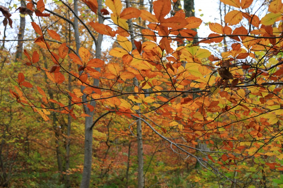 forest in October, trees in gold, Lviv region, Ukraine, photo 5