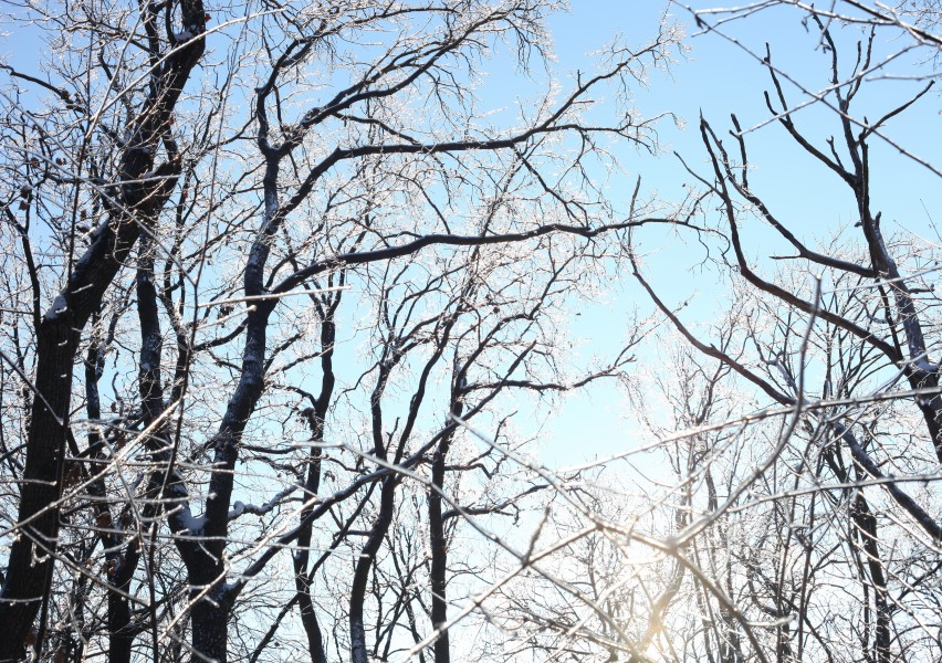 trees with their branches covered with ice, photo 4