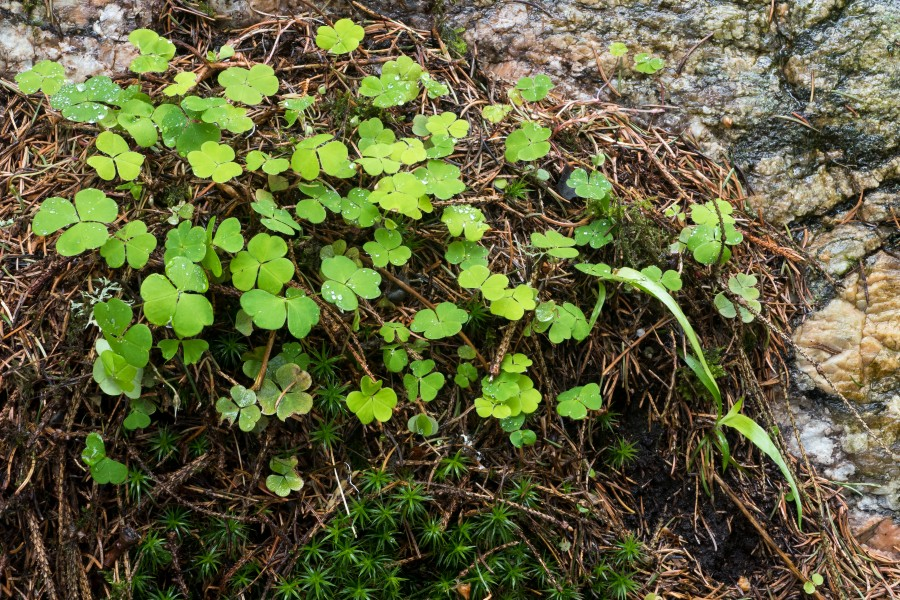 Wood sorrel and haircap moss