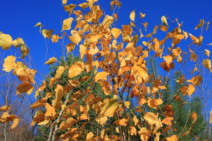 yellow leaves on the trees under a blue sky, November, Lviv region, photo 7