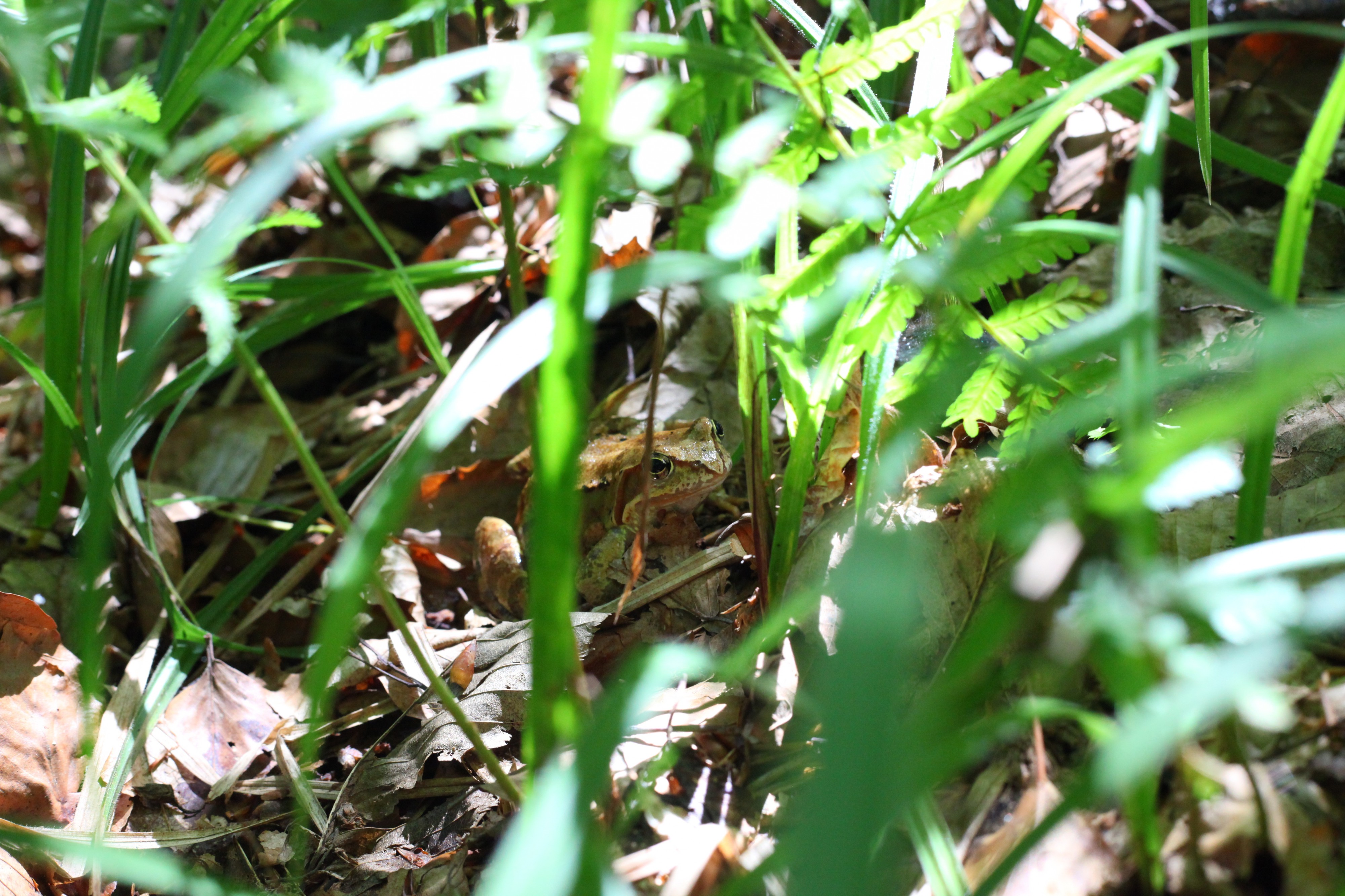 A frog in a forest, about 30 km from Lviv, Ukraine, Europe