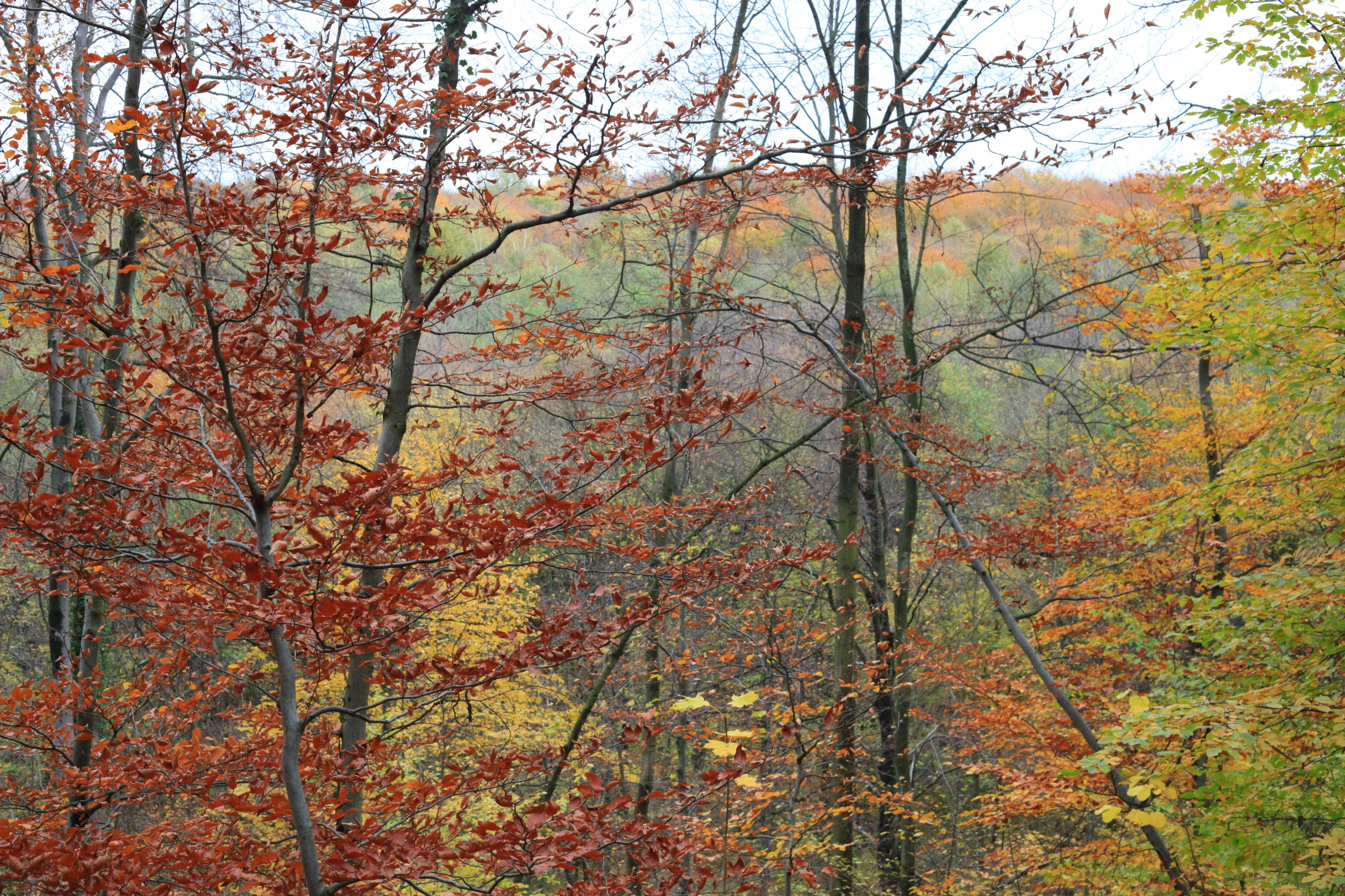 forest in October, trees in gold, Lviv region, picture 1