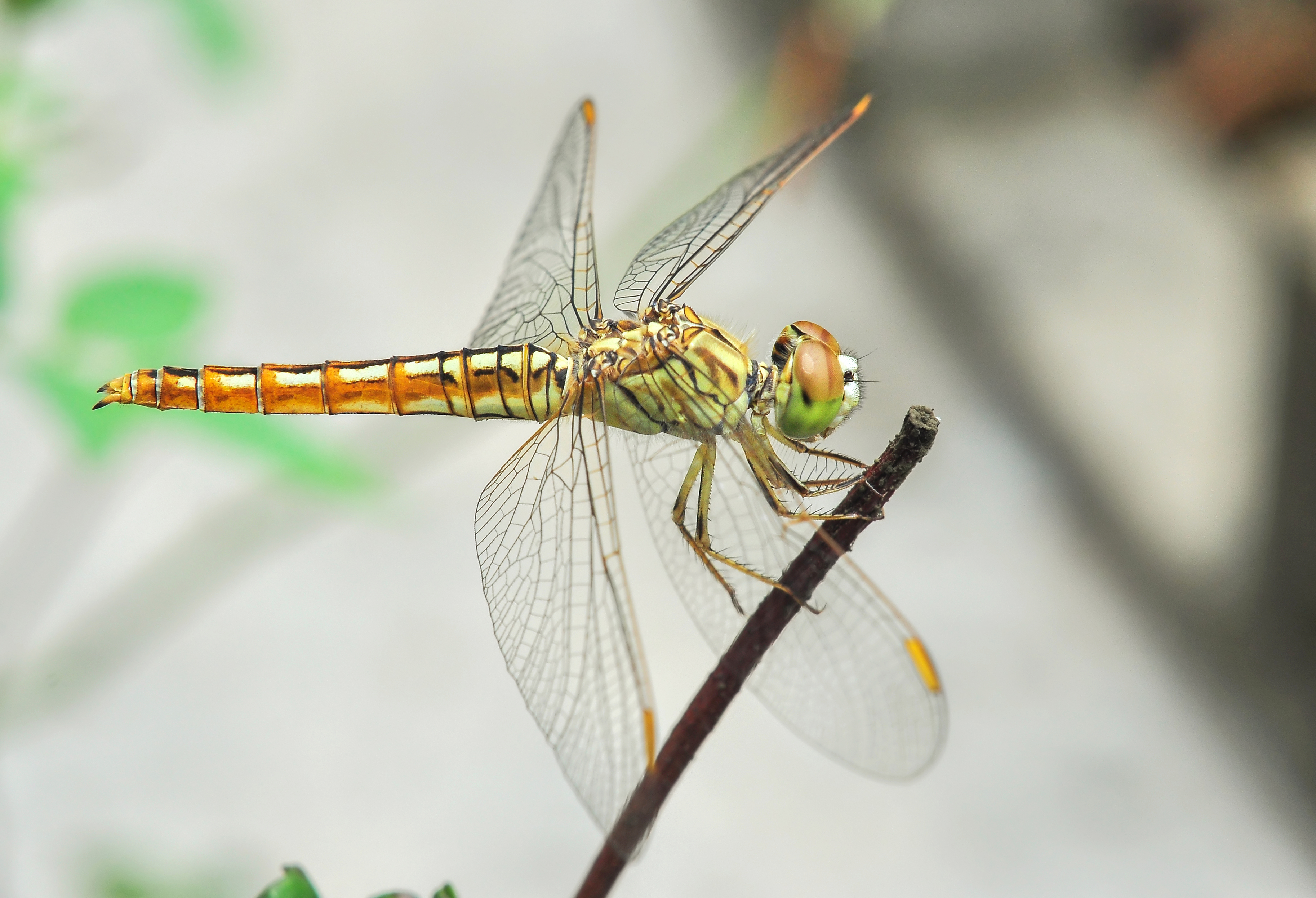 Brachythemis contaminata female 27052014 (2)