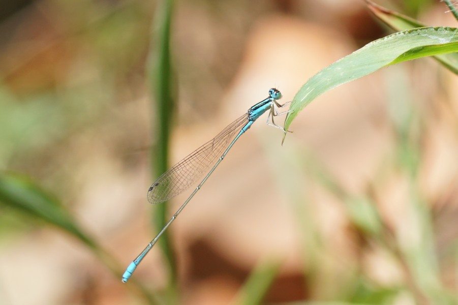 Aciagrion occidentale 02035