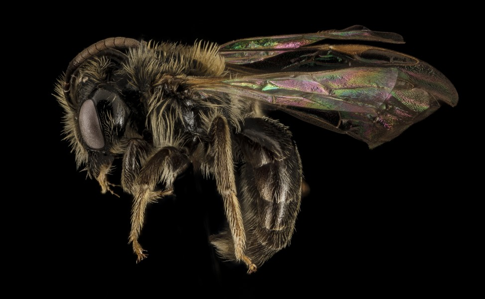 Andrena uvulariae, M, Side, MA, Franklin County 2015-07-07-16.19.23 ZS PMax UDR (21197329683)