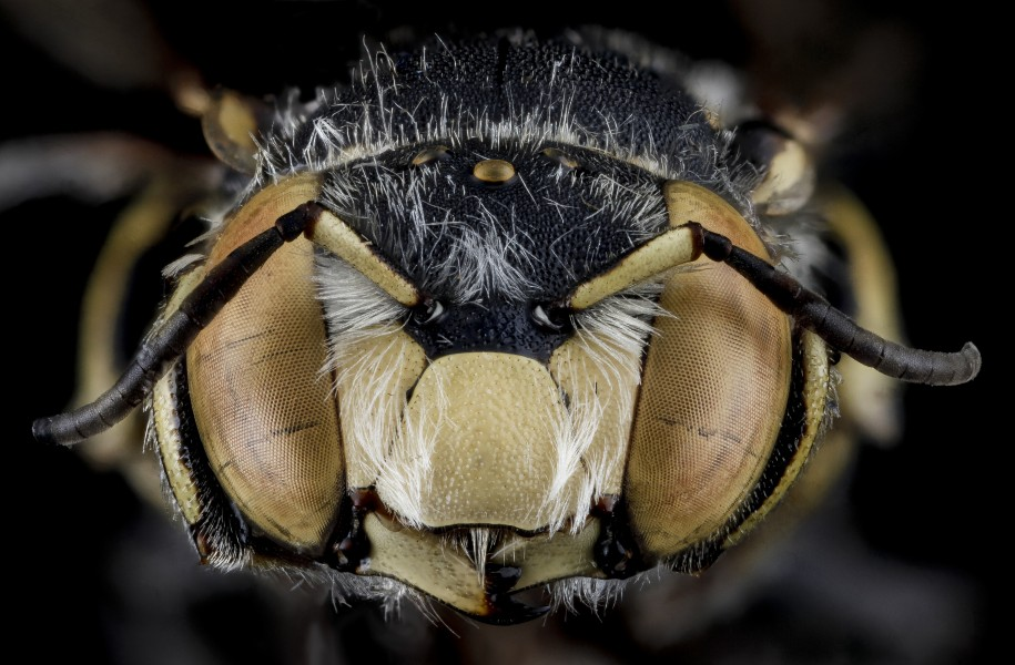 Anthidium maculifrons, M, face, Florida, St. Johns 2013-02-06-14.07.50 ZS PMax (8468153147)