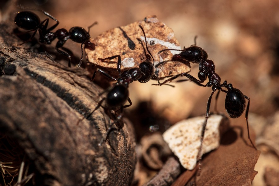 Ants with rock