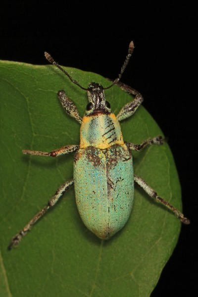 Blue-green Citrus Root Weevil - Pachnaeus litus, Crocodile Lake National Wildlife Refuge, Key Largo, Florida