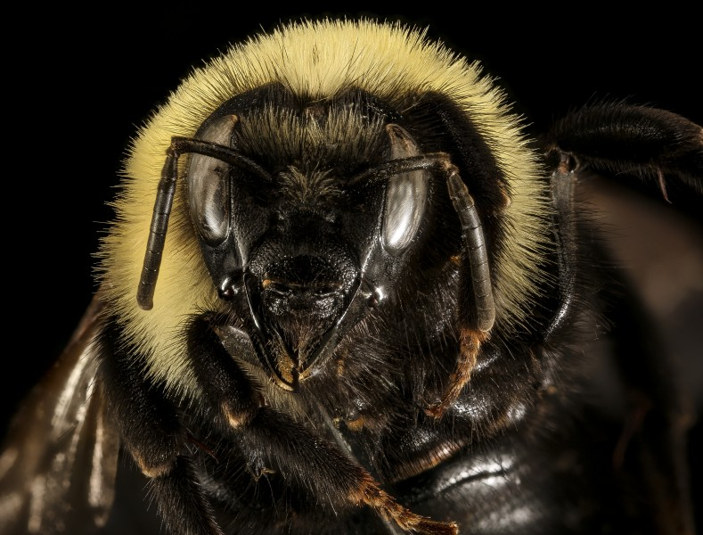 Bombus citrinus, f, face, Talbot Co, MD 2016-01-07-11.35 (24374782750)