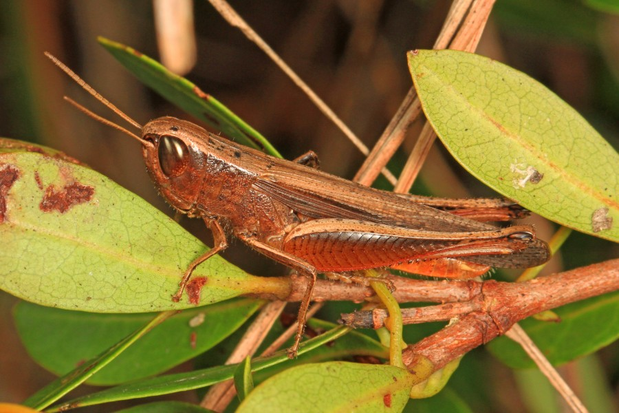 Brown Winter Grasshopper - Amblytropidia mysteca, Long Pine Key, Everglades National Park, Homestead, Florida - 23704990020