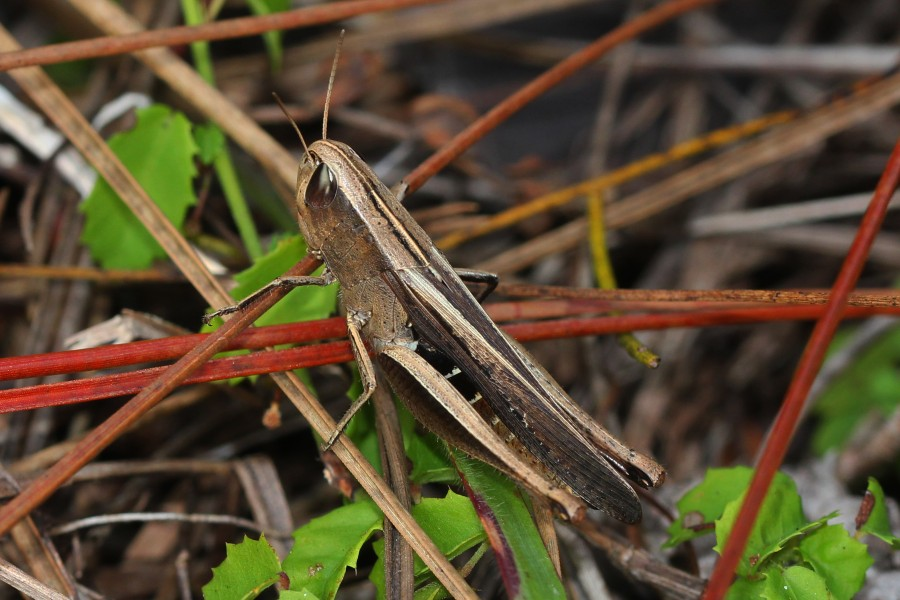 Brown Winter Grasshopper - Amblytropidia mysteca, Long Pine Key, Everglades National Park, Homestead, Florida - 6489509851