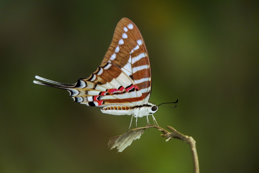 Close wing position of Graphium nomius Esper, 1799 – Spot Swordtail