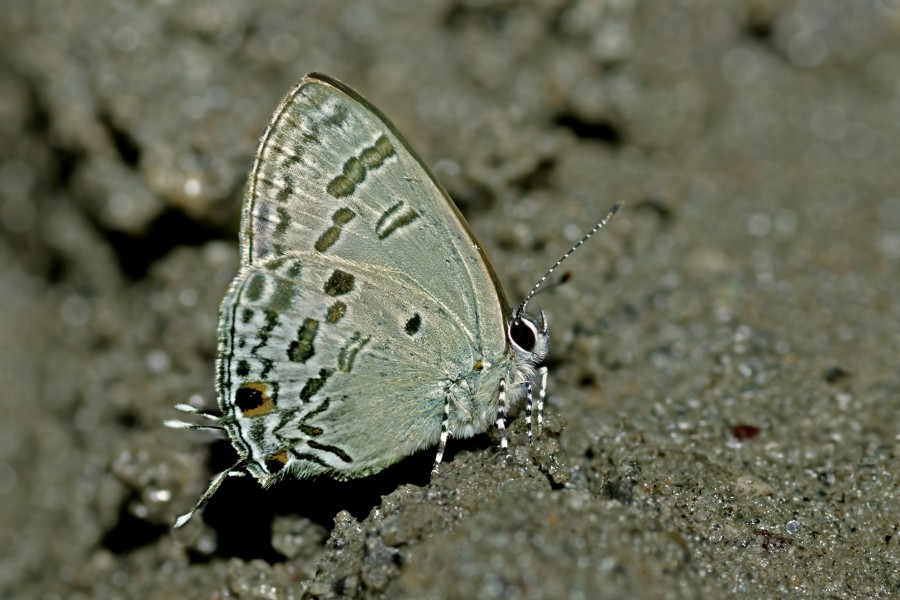 Close wing position of Hypolycaena kina Hewitson, 1869 – Blue Tit WLB DSC 4543