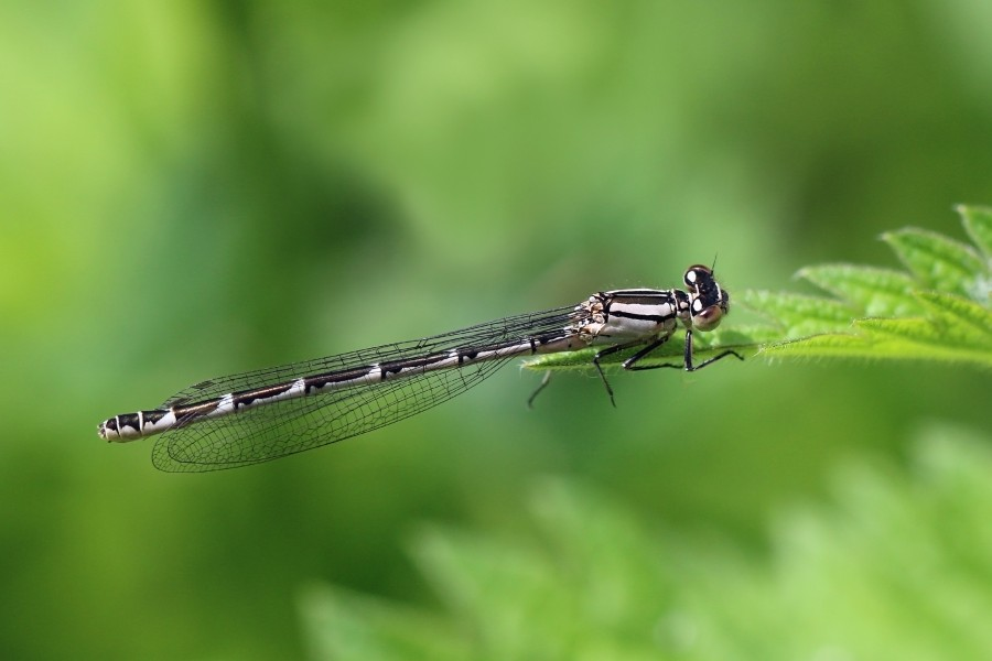 Common blue damselfly (Enallagma cyathigerum) heterochrome female 2