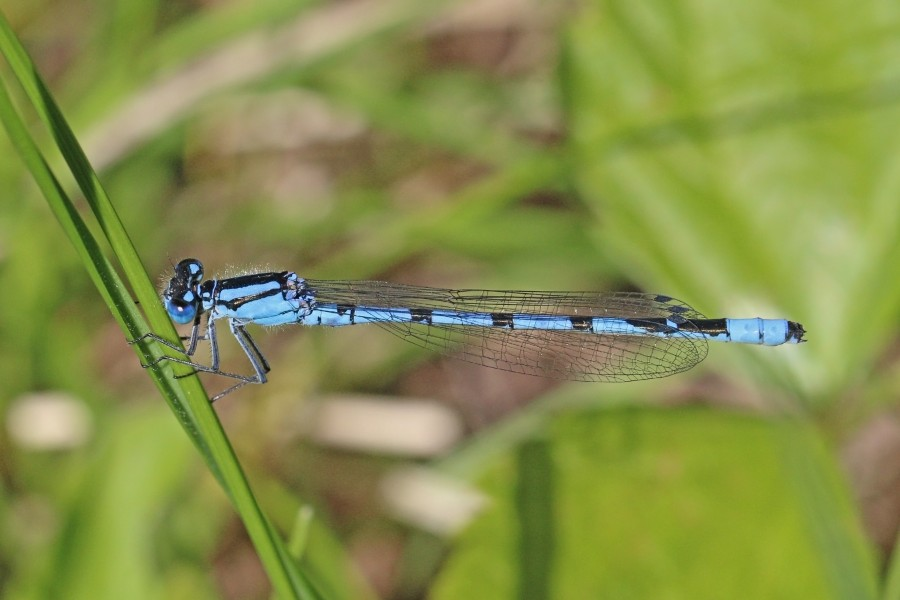 Common blue damselfly (Enallagma cyathigerum) male Estonia