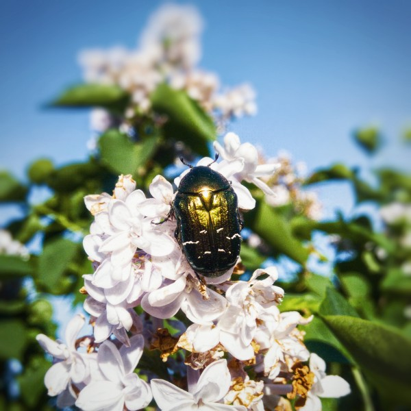 Flower Chafer On Lilac