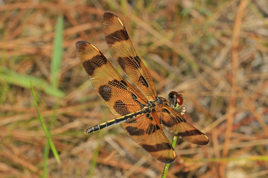 Halloween Pennant - Celithemis eponina, Long Pine Key, Everglades National Park, Homestead, Florida (31266608584)