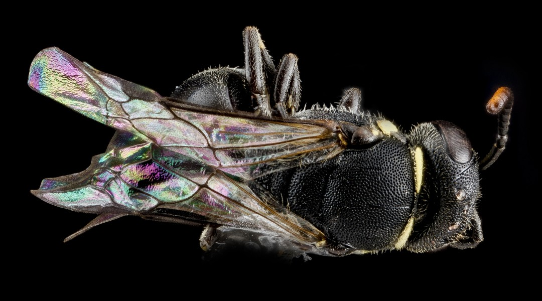 Hylaeus wootoni, female, back2 2012-08-01-13.25.19 ZS PMax (8382798298)