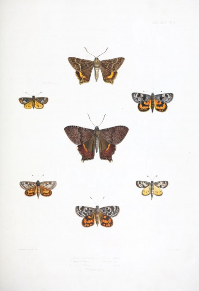 Illustrations of typical specimens of Lepidoptera Heterocera in the collection of the British Museum (Pl. III) BHL23314578