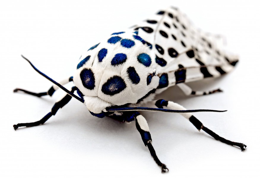 LeopardMothBlueSpots edit2