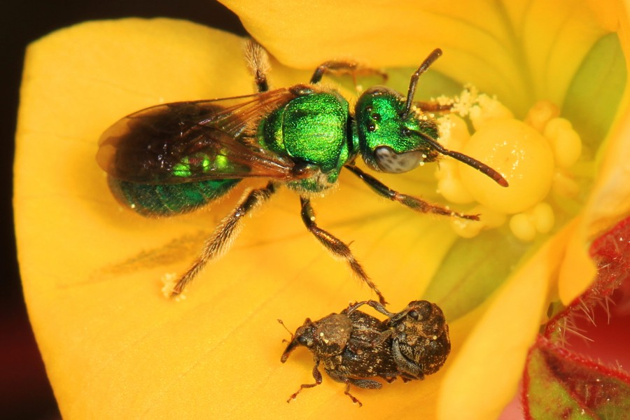 Metallic Green Bee - Augochlorini tribe and Weevils - Auleutes species?, Okaloacoochee Slough State Forest, Felda, Florida