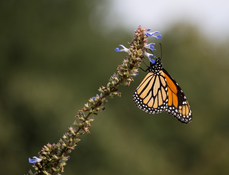 Monarch butterfly (70389)