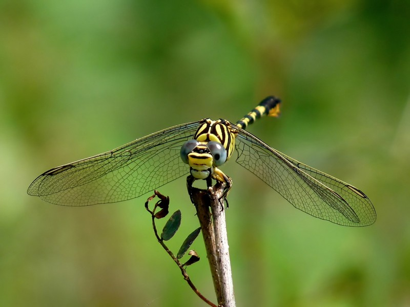 Paragomphus lineatus male 2 by kadavoor