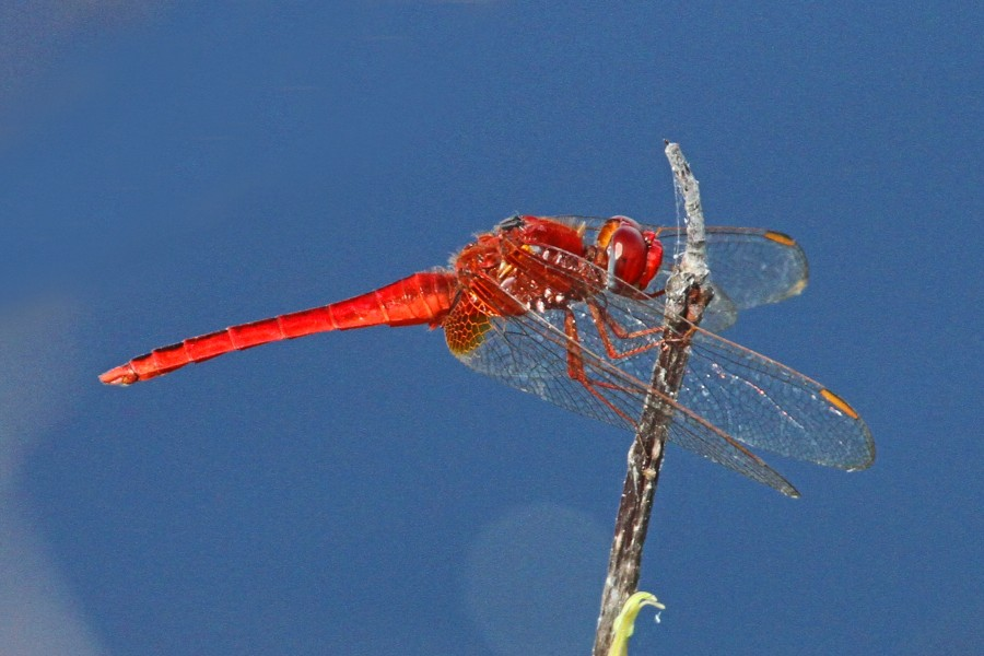 Scarlet Skimmer - Crocothemis servilia, Long Pine Key, Everglades National Park, Homestead, Florida - 31738521771