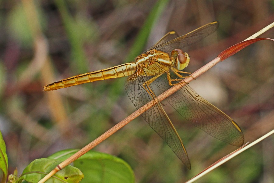 Scarlet Skimmer (female) - Crocothemis servilia, Long Pine Key, Everglades National Park, Homestead, Florida - 8261217434