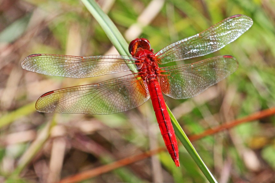 Scarlet Skimmer (male) - Crocothemis servilia, Long Pine Key, Everglades National Park, Homestead, Florida - 8260133383