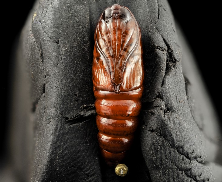 Southern armyworm pupae, underside 2014-06-04-18.34.00 ZS PMax (15316096994)